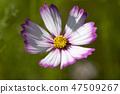 코스모스,꽃,가을 47509267