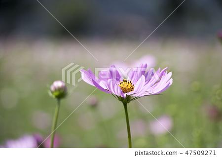 코스모스,꽃,가을 47509271