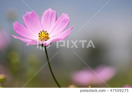 코스모스,꽃,가을 47509275