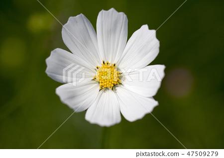 코스모스,꽃,가을 47509279