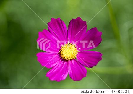 코스모스,꽃,가을 47509281