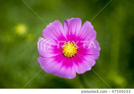 코스모스,꽃,가을 47509283