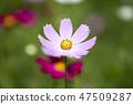 코스모스,꽃,가을 47509287