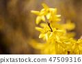 개나리,꽃,봄꽃 47509316