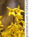 개나리,꽃,봄꽃 47509320