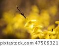 개나리,꽃,봄꽃 47509321