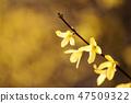 개나리,꽃,봄꽃 47509322