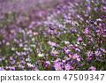 코스모스,꽃,가을 47509347