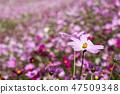 코스모스,꽃,가을 47509348