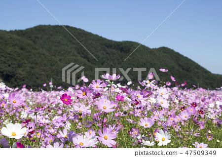 코스모스,꽃,가을 47509349