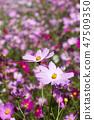 코스모스,꽃,가을 47509350