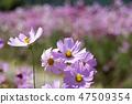코스모스,꽃,가을 47509354