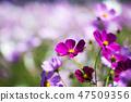코스모스,꽃,가을 47509356