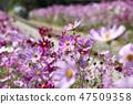 코스모스,꽃,가을 47509358
