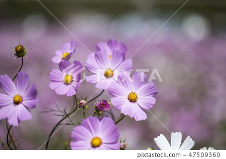 코스모스,꽃,가을 47509360
