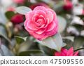 동백꽃,동백,꽃 47509556