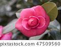 동백꽃,동백,꽃 47509560