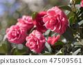 동백꽃,동백,꽃 47509561