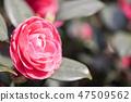동백꽃,동백,꽃 47509562