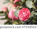 동백꽃,동백,꽃 47509563