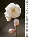 매화,꽃,봄꽃 47509585
