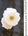 매화,꽃,봄꽃 47509587