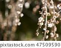매화,꽃,봄꽃 47509590