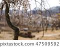 매화,꽃,봄꽃 47509592