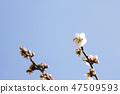 매화,꽃,봄꽃 47509593