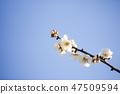 매화,꽃,봄꽃 47509594