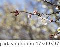매화,꽃,봄꽃 47509597