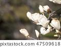 목련,꽃,봄꽃 47509618