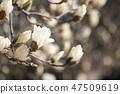 목련,꽃,봄꽃 47509619