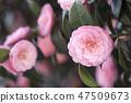 동백꽃,동백,꽃 47509673
