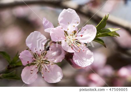 매화,꽃,봄꽃 47509805