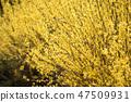 개나리,꽃,봄꽃 47509931