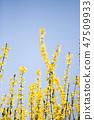 개나리,꽃,봄꽃 47509933