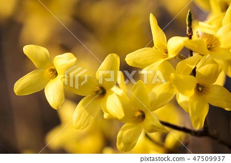 개나리,꽃,봄꽃 47509937