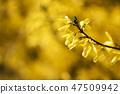 개나리,꽃,봄꽃 47509942