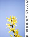 개나리,꽃,봄꽃 47509943