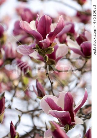 목련,꽃 47510023