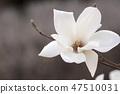 목련,꽃 47510031