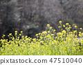 유채,유채꽃,꽃 47510040