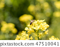 유채,유채꽃,꽃 47510041