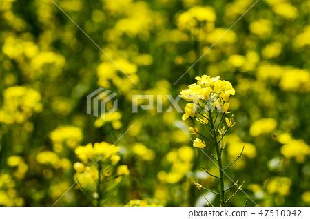 유채,유채꽃,꽃 47510042