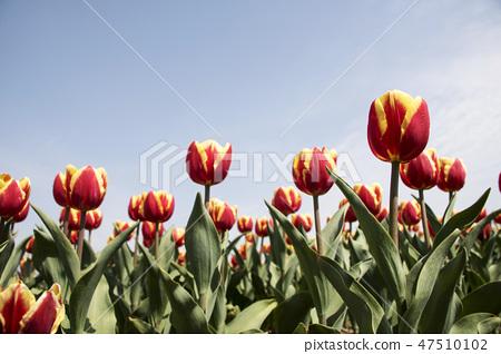 튤립,꽃,식물 47510102