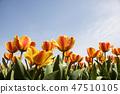 튤립,꽃,식물 47510105