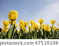 튤립,꽃,식물 47510106