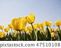 튤립,꽃,식물 47510108