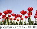 튤립,꽃,식물 47510109